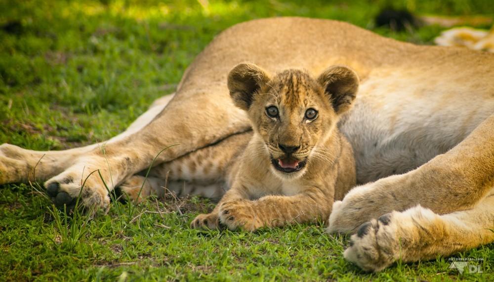 Petit lionceau de la portée royale à moins de deux mètres du groupe
