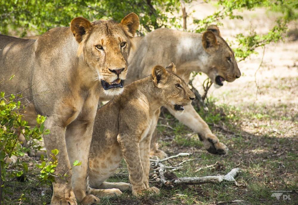Les lionnes féroces et leur lionceau