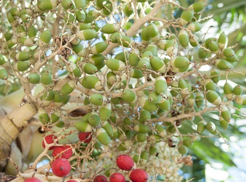 Même les petits fruits ressemblent à des décorations de Noël