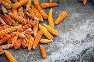 Le masorca est l'épis de maïs sêché au soleil
