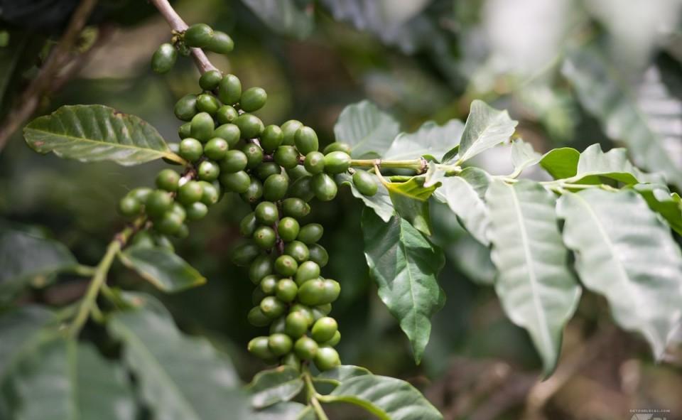 Plantation de café dans les Blue Mountains
