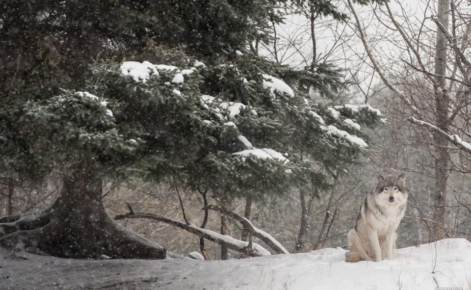 Les loups sont placés dans une zone sécurisée, sans être dans une petite cage