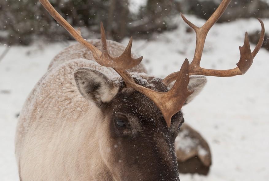 Un caribou qui est venu nous dire coucou