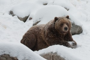 Les ours sortent de leur hibernation pour le temps de la collation