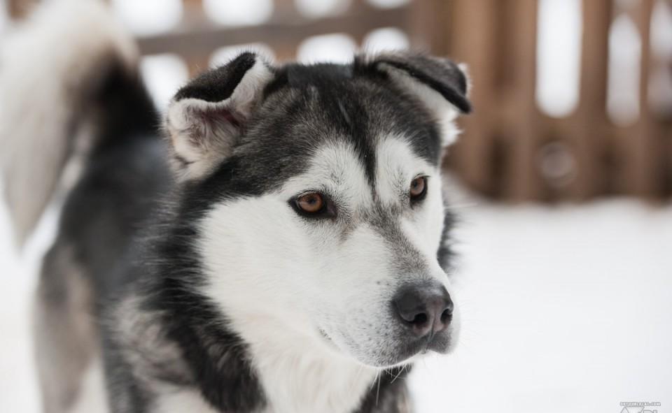 Les chiens attendent impatiemment le regard décisif du musher