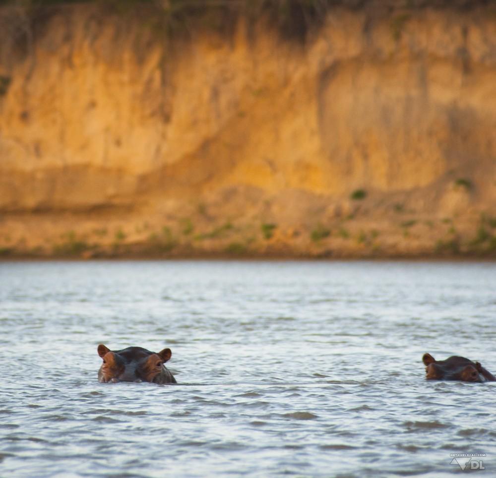 safari en bateau à la découverte des hippos