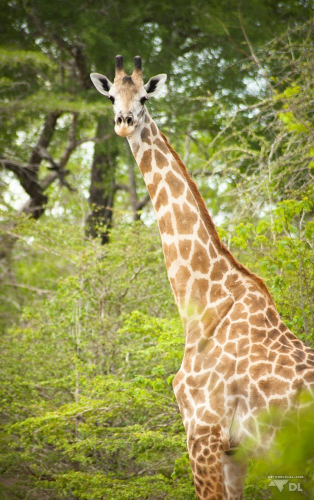 Girafe surprise