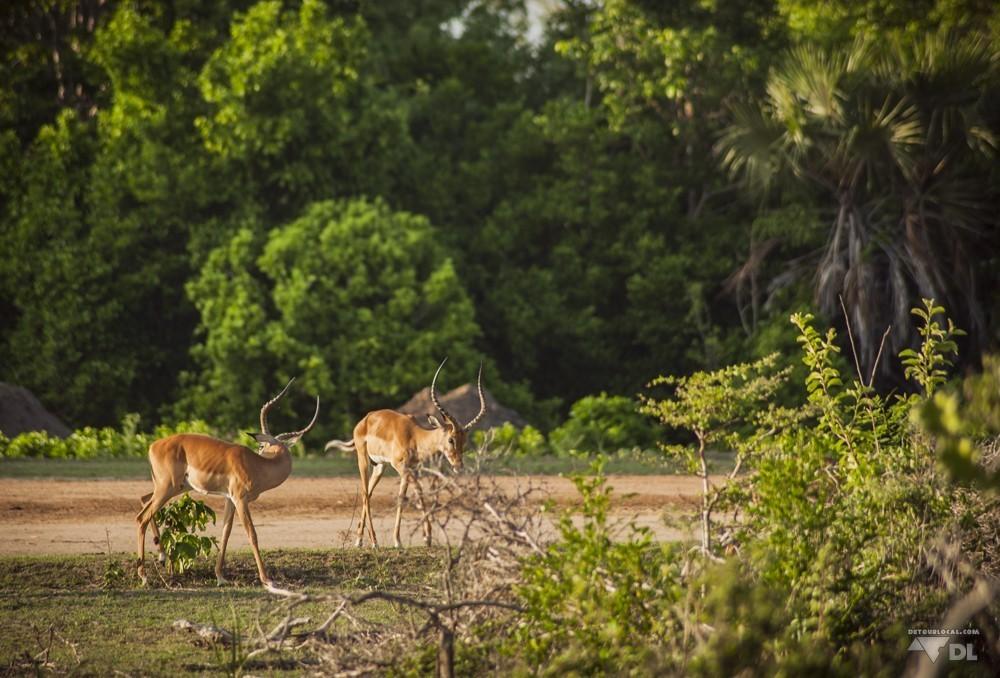 Deux amies gazelles rencontrées lors de notre safari à pied @Selous Game Park