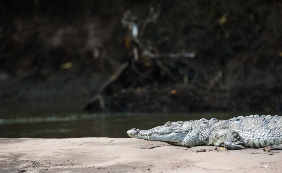La mangrove et ses crocodiles
