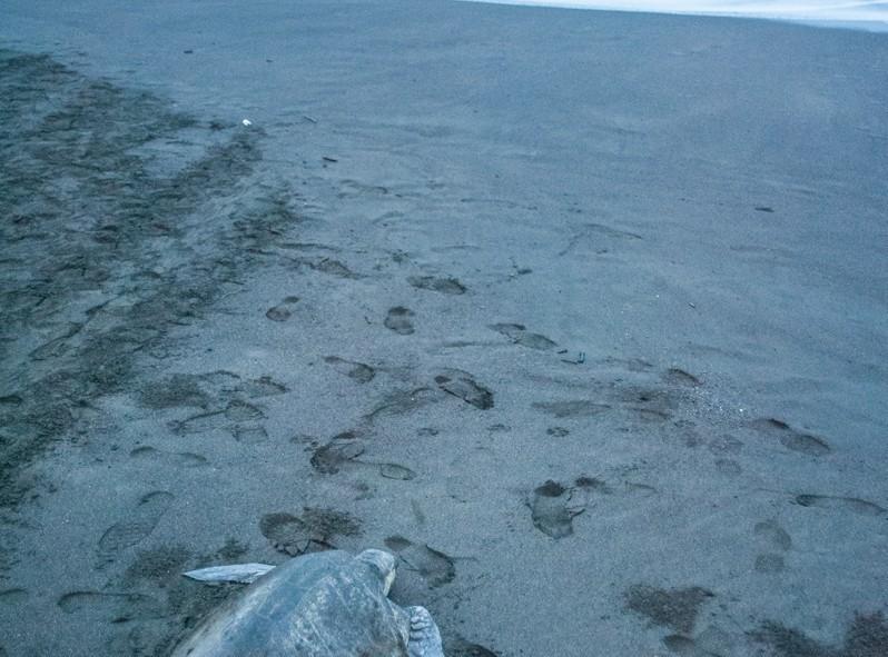 L'arrivée massive des tortues à Ostonial