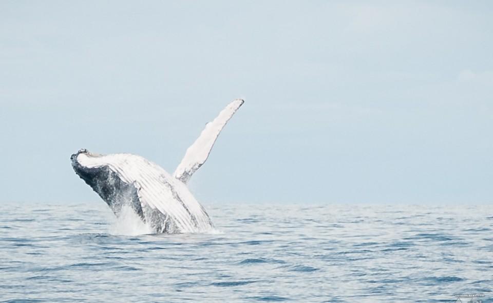 Les excursions à la baleine à Uvita
