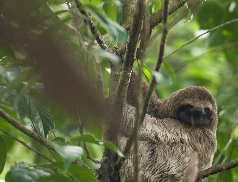Un paresseux dans le parc de Manuel Antonio