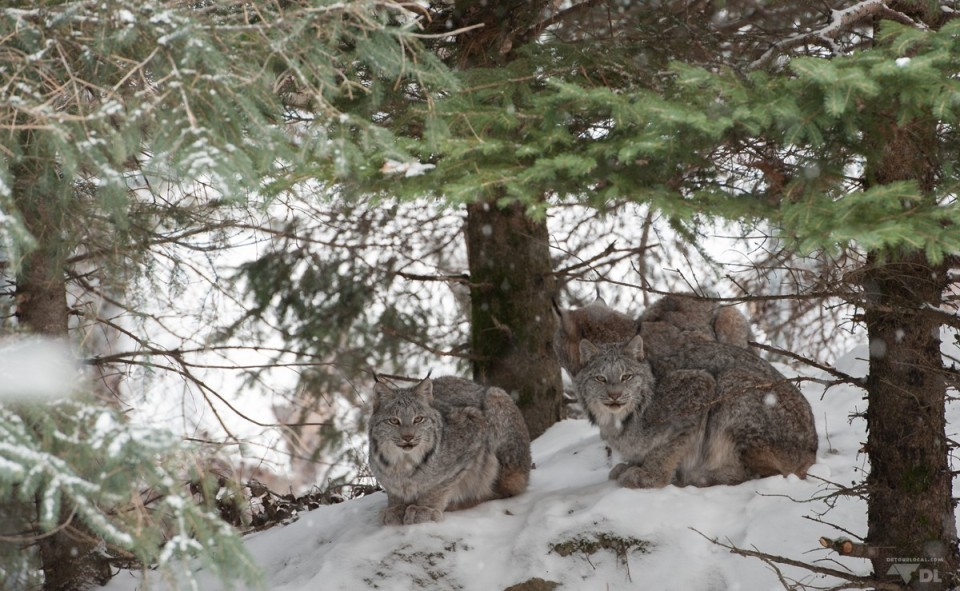 Les lynx agissent vraiment comme des gros chats, un peu moins domestiques!