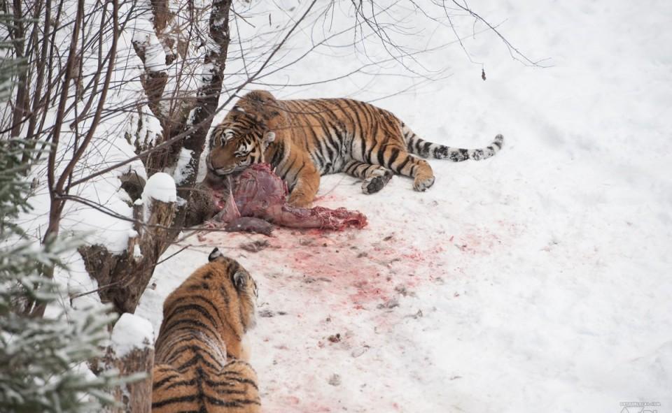 Les tigres de sibérie et leur petit snack d'après-midi. Chic!