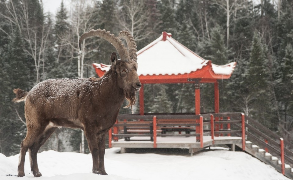 Notre ami le bouc et la section mongole du zoo