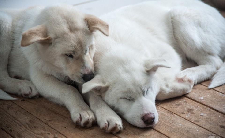 Trop mignons les deux petits chiots qui ont encore le droit de rester dans le shack