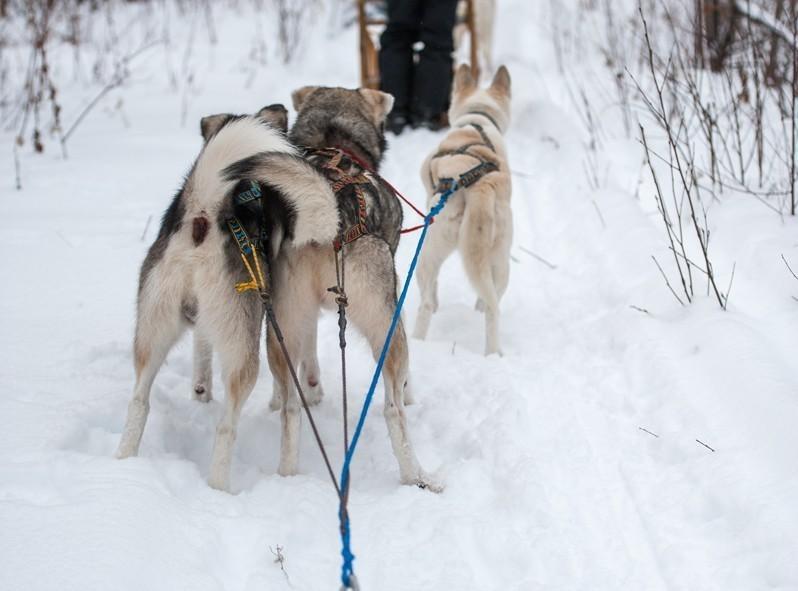 Au milieu de la balade, les chiens bien prêts à repartir